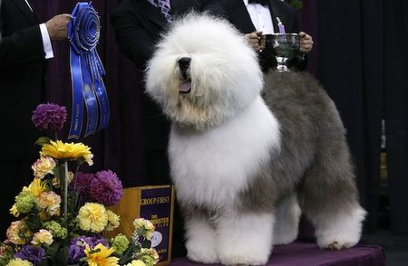 Swagger-an-old-english-sheepdog-poses-for-photographers-after-winning-the-herding-group