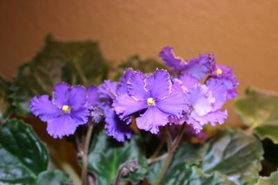 Oct_29_06_violets_002