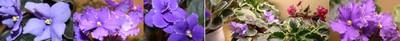 Violet_panorama